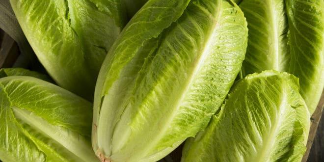 lechugas romanas -romaine lettuce