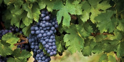 The Benefits of Eating Grapes You Didn't Know