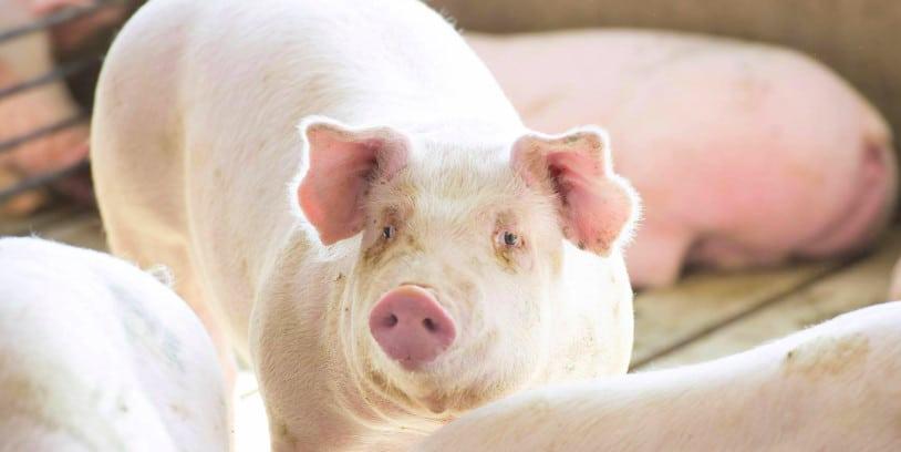 pork Proposition 12 - cerdo Proposición 12