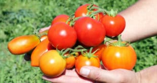 Mexican tomato growers