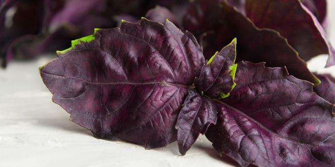 purple basil - albahaca púrpura