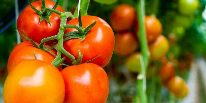 tomates mexicanos - Mexican tomatoes